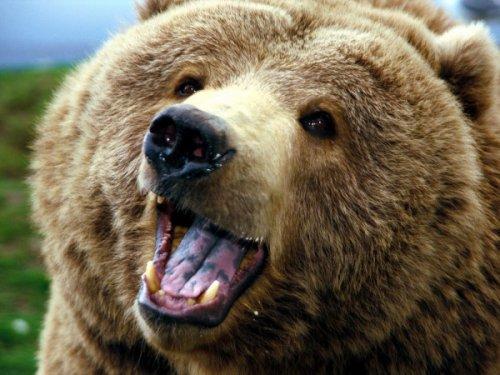 Просто красивые медведи (35 фото)