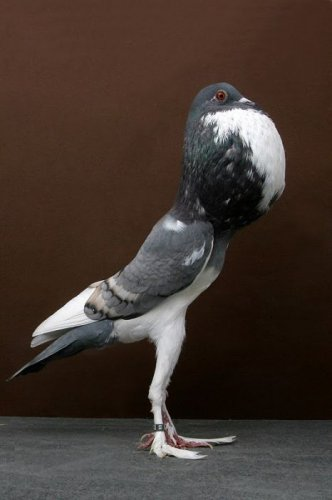 Декоративные голуби (18 фото)
