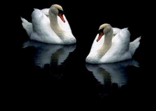 Красивые величественные лебеди (26 фото)