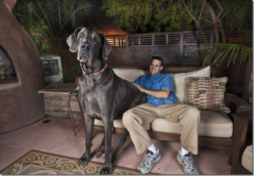 самая большая собака в россии ролях: Джон Белуши