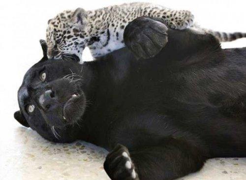Милое семейство ягуаров (6 фото)