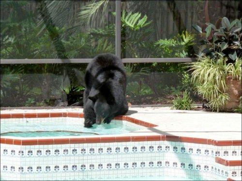 Как медведь в бассейне купался (4 фото)