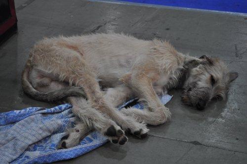 Выставка собак (г.Киев декабрь 2010г.)