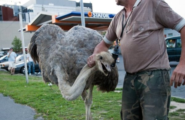 ржевский как ловить страуса