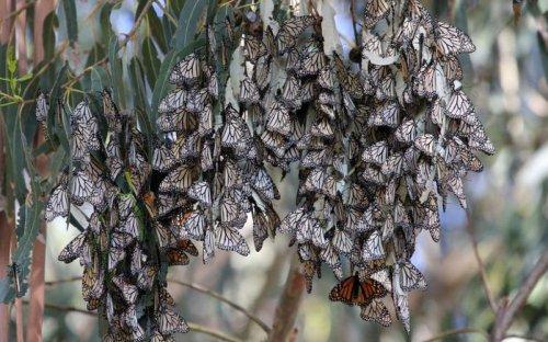Нашествие бабочек (15 фото)