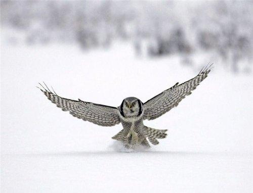 Филины и совы (22 фото)