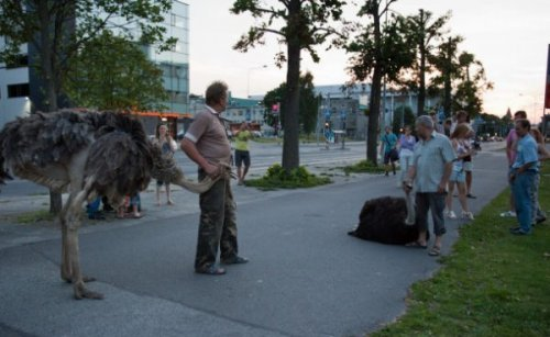 По центру Тарту бегали страусы