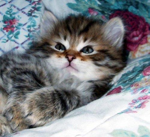Подробная информация и фото котят и их родителей на сайте.