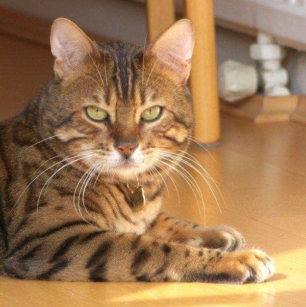 Очень редкие породы кошек для красоты