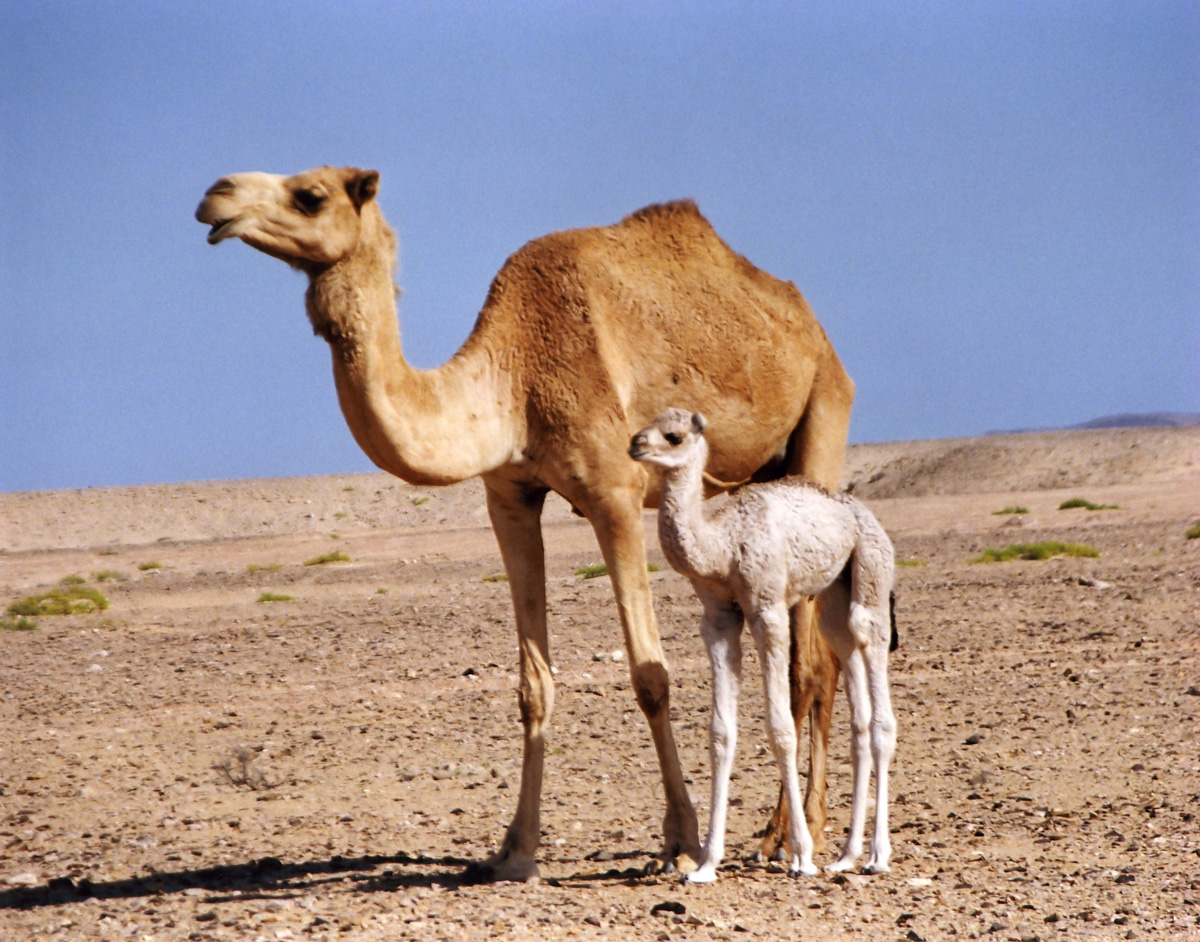 животные верблюд картинки хотя