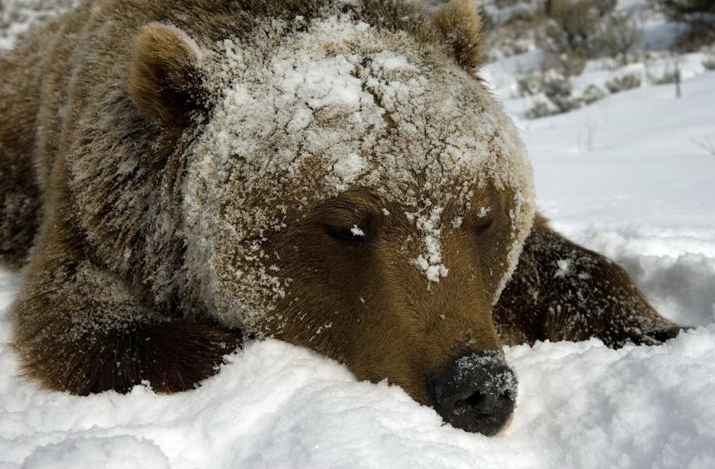 бурый медведь шатун зимой фото увидели позади себя