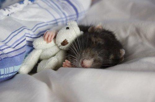 Баг-самая милая крыска (32 фото)