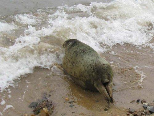 Спасение тюленя (25 фото)