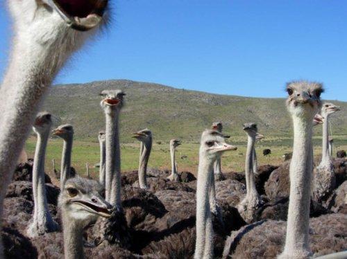 Факты о страусах (17 фото)