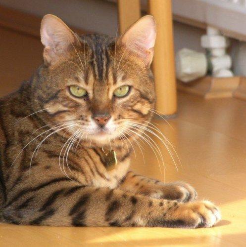 Самые дорогие породы кошек в мире (8 фото)