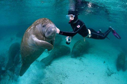 Дружелюбные морские коровы (11 фото)