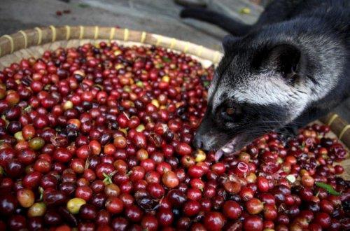 Циветтам спасибо, за самый дорогой кофе в мире (9 фото)