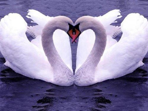 Лебедь-птица любви и верности (15 фото)