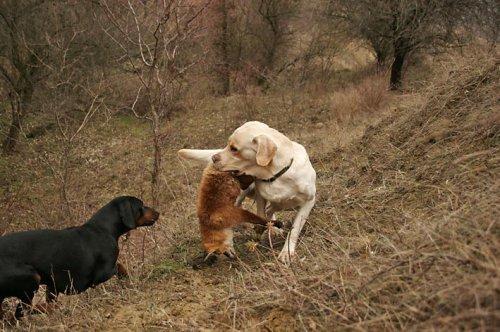 Собаки-охотники (25 фото)