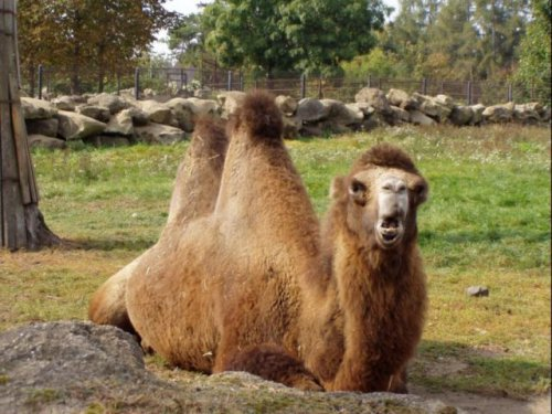 Верблюды-гордые и смешные (20 фото)