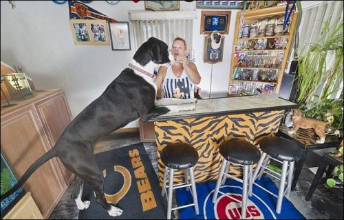 Самая высокая собака в мире (4 фото)