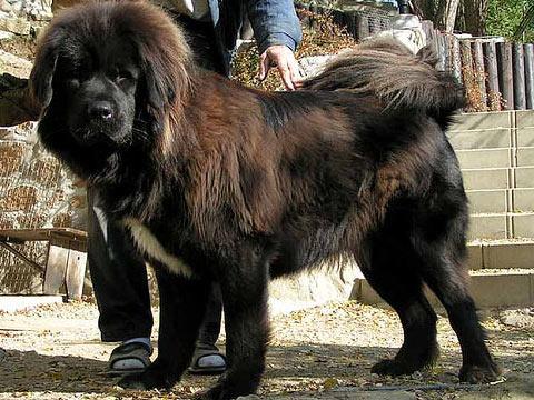 Самая дорогая собака в мире (2 фото)