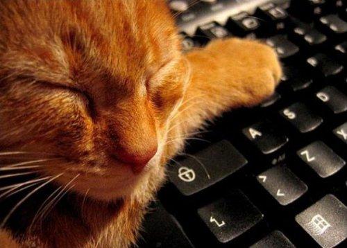 Подборка семейства кошачих, любящих клавиатуру:) (32 фото)
