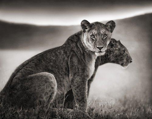 Чёрно-белые фотографии животных Африки (25 фото)