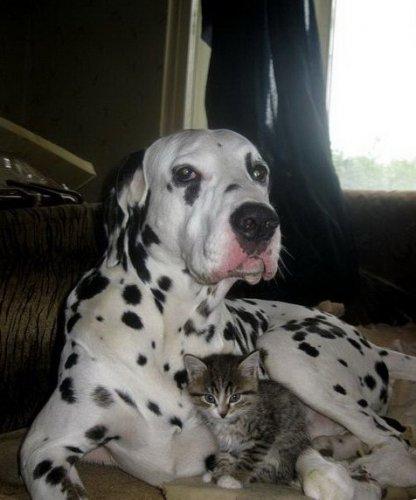 Собака+кошка=друзья на век (35 фото)