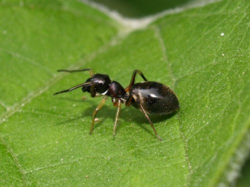 Пауки-муравьи (10 фото+видео)