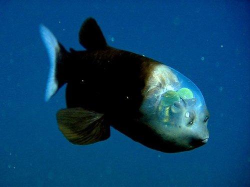 Одна из самых причудливых рыбок (8 фото)