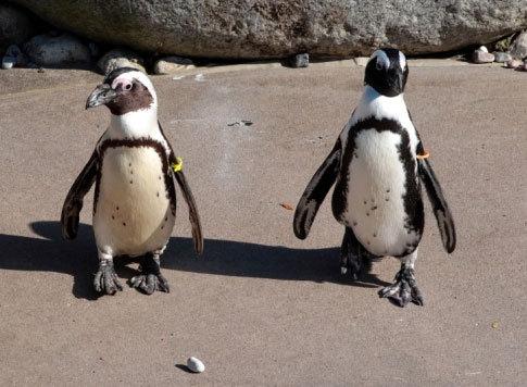 Разлука пингвинов-«геев»