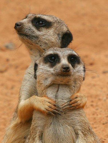 Забавные зверьки-сурикаты (12 фото)
