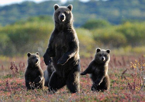 Почему медведь поднимается на задние лапы? (4 фото)