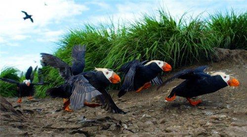 Морские птички-топорки (7 фото)