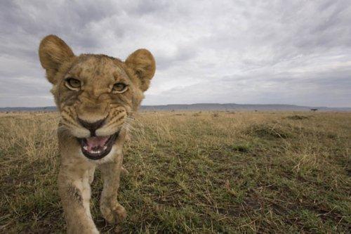 Львы фотографа Пол Соудерса (12 фото)