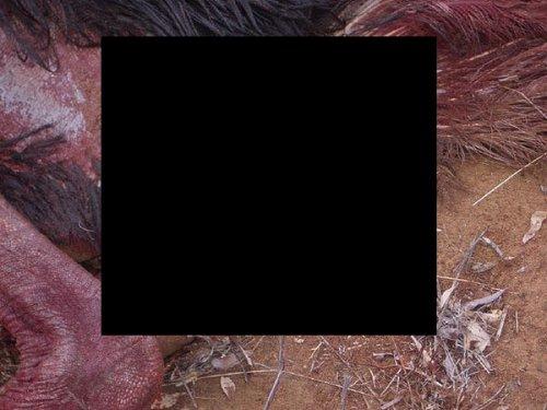 Африканские страусы-обладатели мужского полового органа (4 фото)
