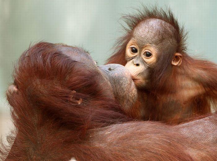Целующая обезьяна картинки