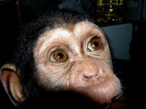 Мама для дитеныша шимпанзе (31 фото)