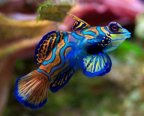 Самая разноцветная и популярная рыбка в мире (4 фото)