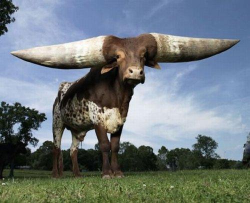 Бык Watusi - обладатель самых больших рогов в мире (7 фото)