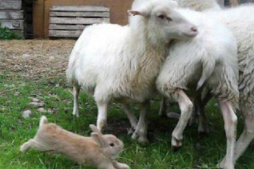 Кролик, сгоняющий овец, стал хитом на Youtube
