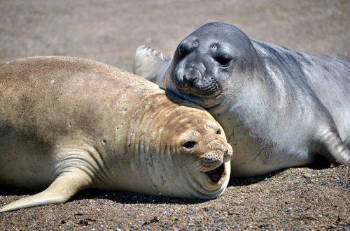 Морские слоны (24 фото)