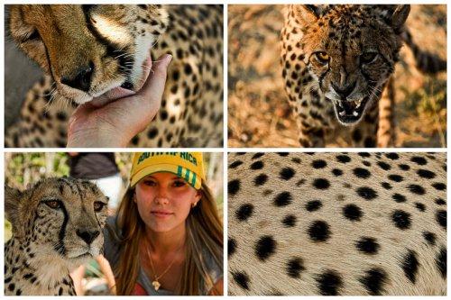 Гепарды (45 фото)