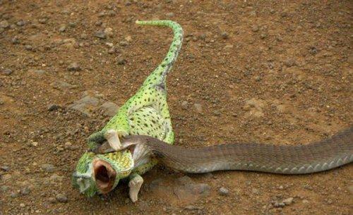Жертвы змей (26 фото)