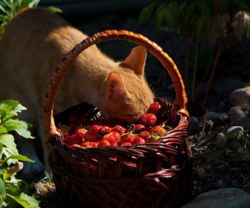 Кошки и ягодки (20 фото)