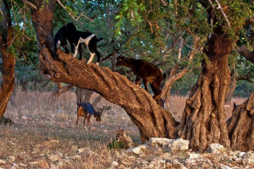 Марокканские козы (15 фото)