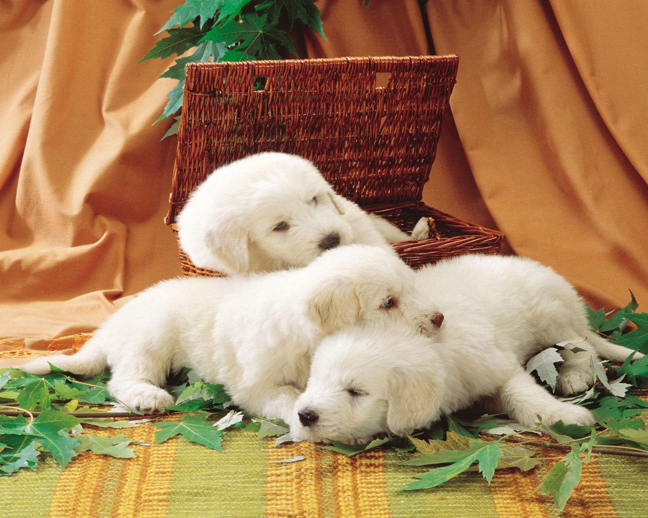 критику нравится-пусть картинки с белыми щенками них нервы крепче