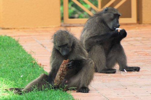 Осторожно,бабуины:) (9 фото)