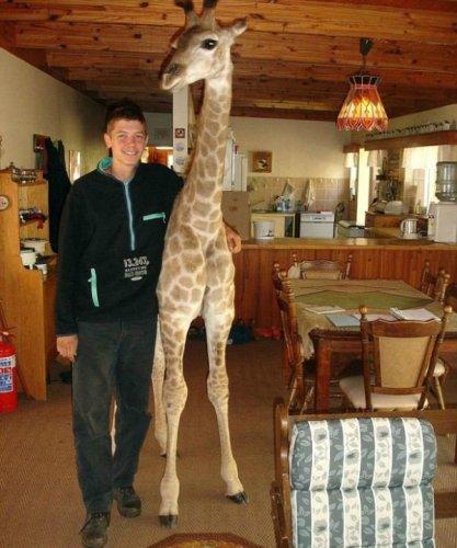 Маленькая жирафа Финни-настоящий член семьи (10 фото)